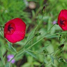 Layby Wild Flowers (11)