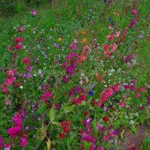 Layby Wild Flowers (13)