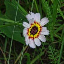 Layby Wild Flowers (15)
