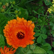 Layby Wild Flowers (17)