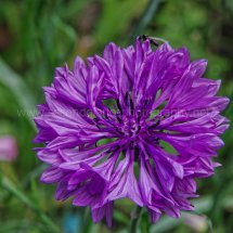 Layby Wild Flowers (18)