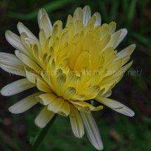 Layby Wild Flowers (19)