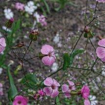 Layby Wild Flowers (21)