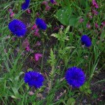 Layby Wild Flowers (24)