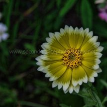 Layby Wild Flowers (26)