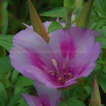 Layby Wild Flowers (27)