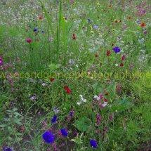 Layby Wild Flowers (3)