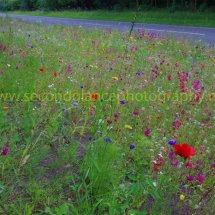 Layby Wild Flowers (5)