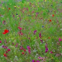 Layby Wild Flowers (6)