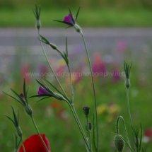 Layby Wild Flowers (7)