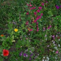 Layby Wild Flowers (8)