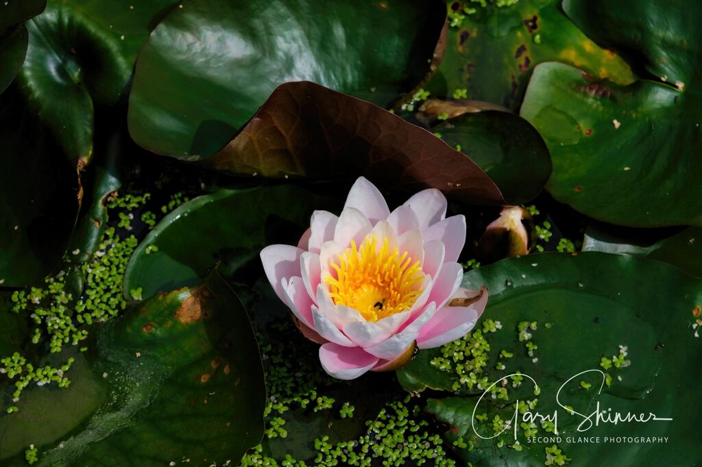 Lilly on the Pond 2
