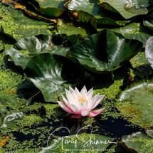 Lilly on the Pond