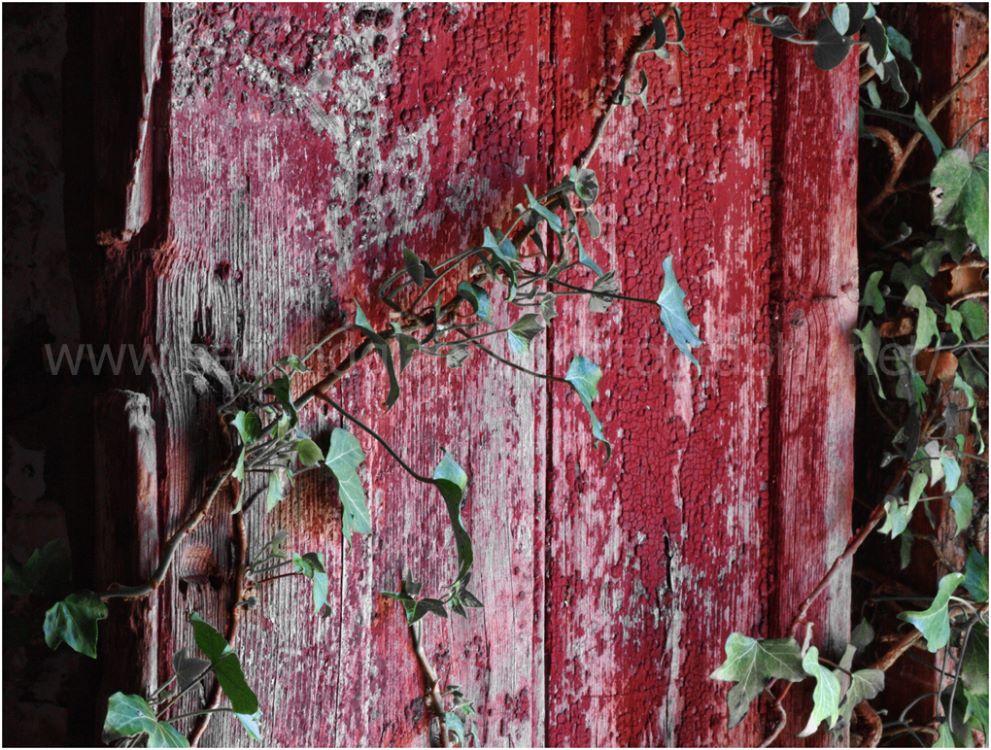 Old Door & Ivy