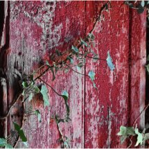 Old Door & Ivy