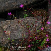 Pink v the Rocks