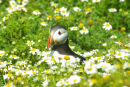 Puffin - bathing in the flowers