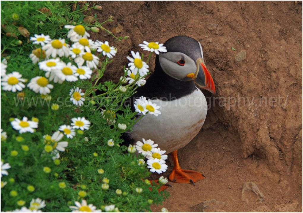 Puffin at the Burrow opening