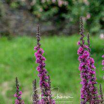 Purple loosestrife 1