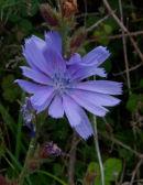 Chicory (Chichorium Intybus)