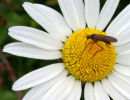 Empis Tesselata on Daisy