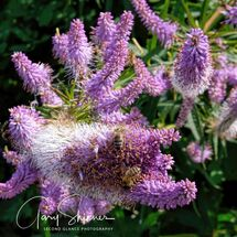 Spike Gayfeather - The Bees love these 2