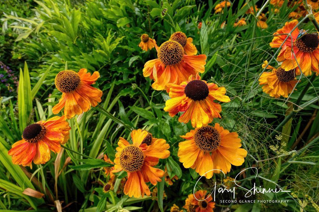 Sunken Garden 7 - Echinacea