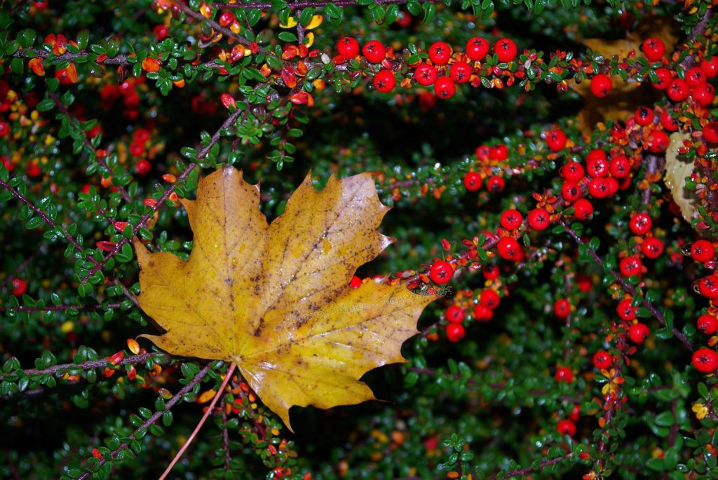 Sycamore leaf & red berries - Shortcut