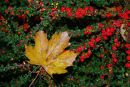Sycamore leaf & red berries