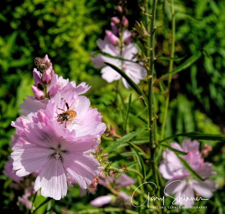 Tree Mallow & Pollen Covered Bee