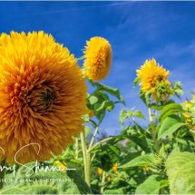 chrysanthemum skyline