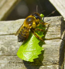 Leaf Cutting Bee, Megachile
