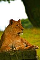 Lioness, Africa