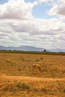 Gaizelle, Tsavo East Kenya