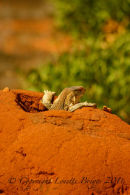 Lizard, Tsavo East, Kenya