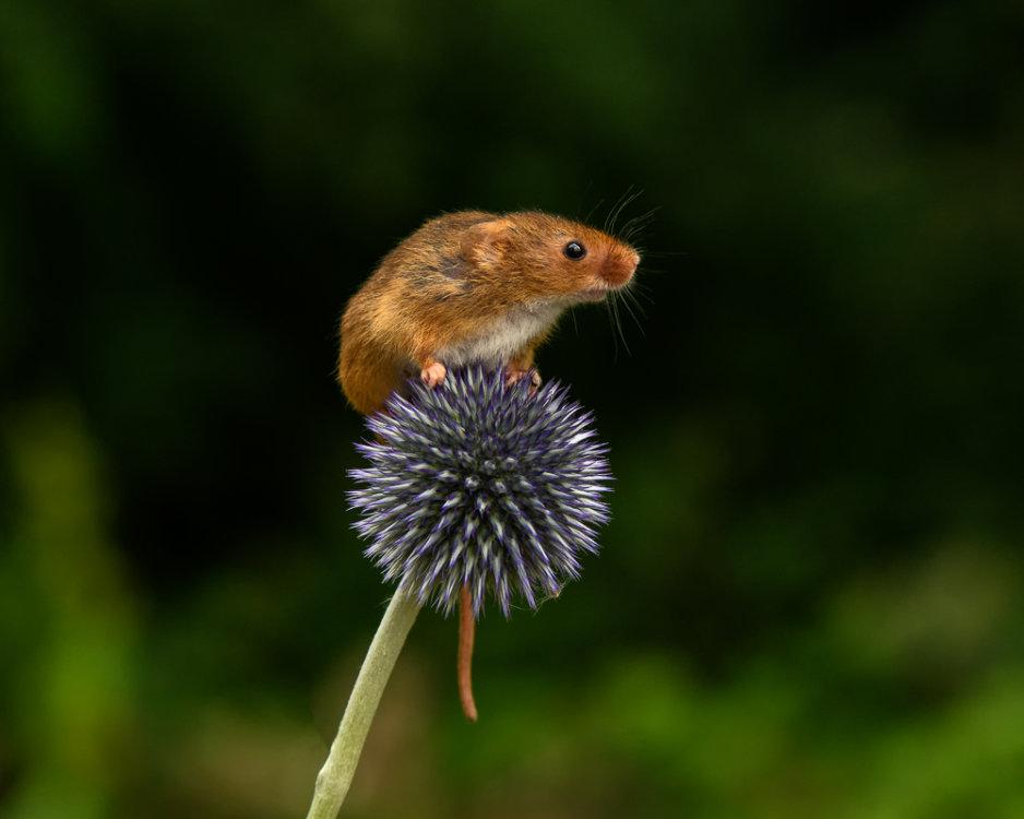 Harvest Mouse on Flower
