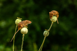 Harvest Mice on Poppy Seed Heads