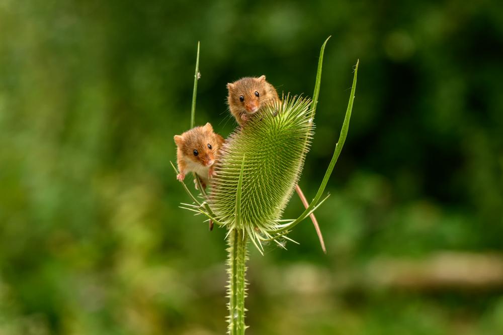 Harvest Mice on Teasel