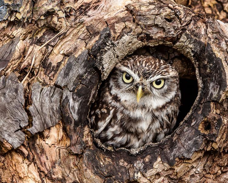 1st-Little Owl-Ian Hosker LRPS