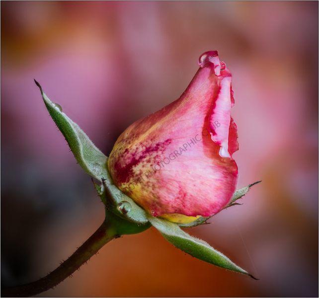 2nd-Rose Bud-Mike Hawkridge ARPS, AFIAP