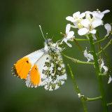 Highly Commended-Orange Tip feeding-John Keele