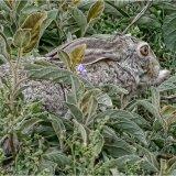 1st-Serengeti Hare in Hiding-Bob Reynolds