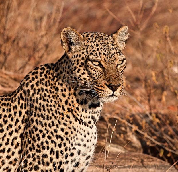 1st Leopard at Daybreak Jane Baker