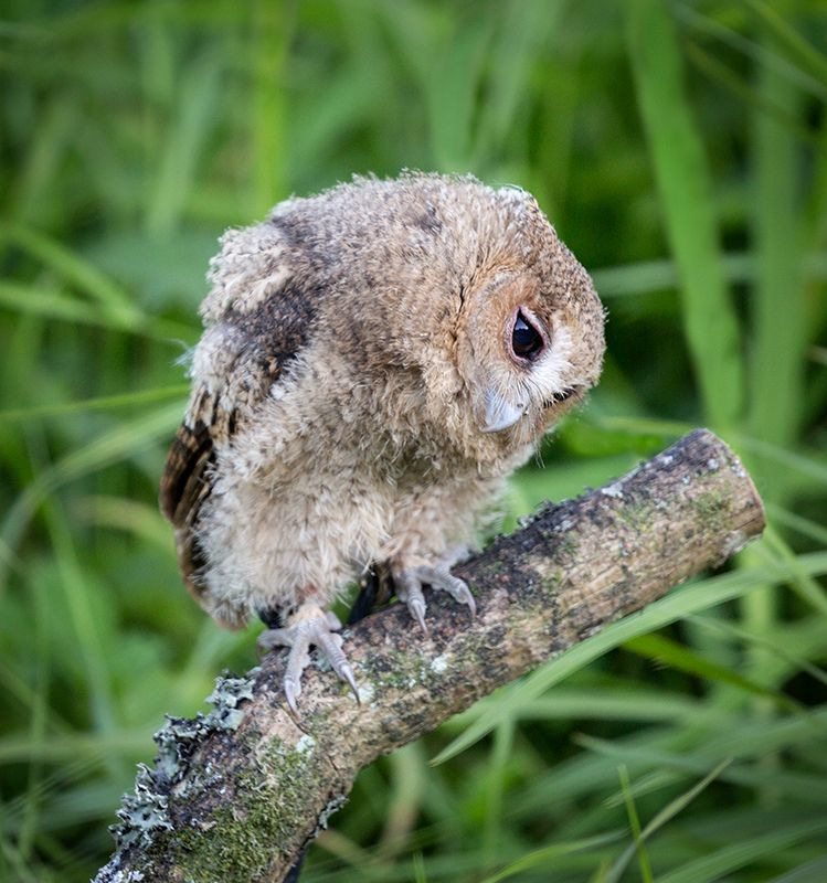 Highly Commended-Baby Owl listening-George Webb