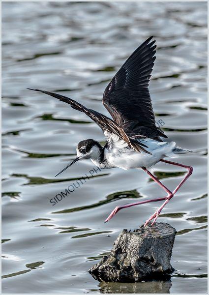 2nd-Black winged Stilt-Julian Shaw, LRPS