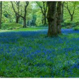 Blue Bells Blackbury Camp