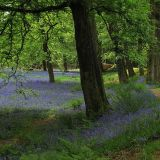 Bluebells at Blackberry Castle