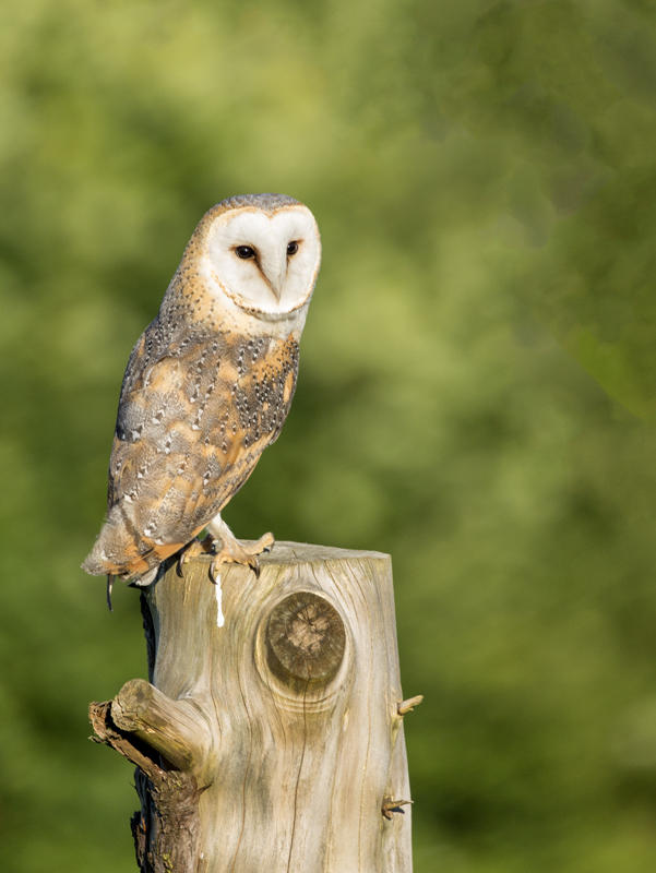 Commended - Owl on a stump - George Webb