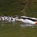 Shellduck family