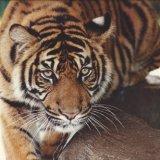Commended-Tiger Tiger-Jane Baker